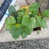 野菜の苗を植えてみました。
