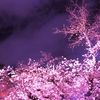 2018年東京各地の桜の名所お花見まとめ!見逃したあなたへ
