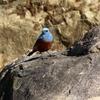 平磯海岸で飛び回る美男子のイソヒヨドリ
