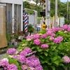 江ノ電 坂ノ下の紫陽花