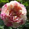 開花ラッシュ…1 バラゾウムシにやられすぎて咲かないと思っていました