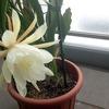 白いクジャクサボテンが咲きました