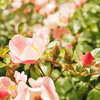 春のお散歩:同じバラでも花びらで表情が違って楽しい!