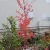 雑木コーナーの主木 紅葉