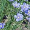 亜麻仁油の花