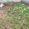 雑草刈!雑草掘り!? じじいは朝から庭へ草刈りへ・・・