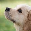 【犬と猫の偽妊娠】ウソ、ホント⁉犬、猫は交配してなのに、妊娠する?