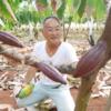初の国産チョコ誕生!? 小笠原・母島で栽培