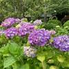 横浜の紫陽花寺