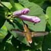 ベリーズ 花とハチドリ
