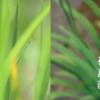 「菖蒲」と「花菖蒲」の違いをご存知ですか?