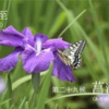 二十四節気七十二候 「夏至 菖蒲華」(2017/6/26)