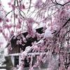 田淵行男記念館の百楽桜と雪景色(長野県安曇野市)