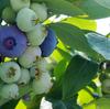 ブルーベリーの収穫と内山紙の紙すき体験:飯山市百姓塾7月講座[2]