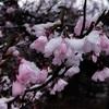 【長野県大町市】4月9日、2日目の「雪桜」。