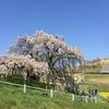 Miharu Takizakura, the single most beautiful cherry tree in Japan