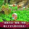 【ピンクラムズホーン】の飼育方法・繁殖・増えすぎた時の対処法