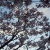 遅咲きの桜 1
