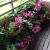 ベランダの花を植え替える