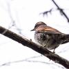 🦜野鳥の回【10】🆕ツグミ(鶫)