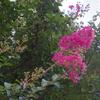 紅白のサルスベリ咲く。