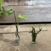 モンステラ鉢植え