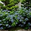 霊源院の甘露庭、甘茶が咲き誇る庭園。