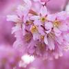 京都・出町柳 - 長徳寺のオカメ桜