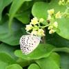 アオツヅラフジ(青葛藤)の花と実