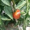 トマトの収穫!!