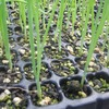 タマネギの苗の太さと植え時について