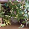 観葉植物の植え替え時期をうかがっている