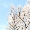 五年ぶりの桜が見られました