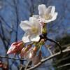 あいかわ公園 山野草図鑑 春 赤系の花
