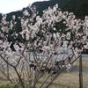 サクランボの花が咲いた