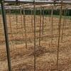宇宙芋の栽培で雑草対策に有機マルチを試す「藁vs籾殻」比較中