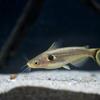 ホラバグルス・ブラキソマ Horabagrus brachysoma