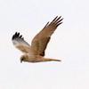 葦原を飛ぶチュウヒ