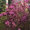 札幌 ツツジ 咲きました 4月27日(月)午後 2020