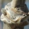 オニグルミの冬芽 その2 羊にも見えるかも