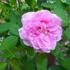 また咲いてくれました…「コントゥ・ドゥ・ジャンボール」