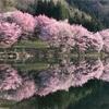 中綱湖の大山桜2018
