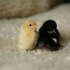 抗体を持つ鶏
