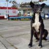 とにかく犬はひたすら待つ。飼い主が亡くなった病院の前で8ヵ月も帰りを待ち続けている犬、里親が見つかるも・・・(ブラジル)