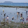 潮干狩りができなくなる日が来るかも。日本の風物詩の消滅?!