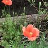 あちこちの道端にお花が咲いていてウキウキ〜でもお庭の草取りはちょっと大変です〜