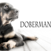 【発育の良いドーベルマンの子犬を選ぶための10の基礎知識】ブリーダー見学時にチェックすべき事とは??