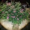 夜のバラたち