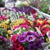 ペチュニアやマリーGなど夏の花続々と入荷中です♪
