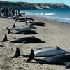 オーストラリアのクジラに続きアルゼンチンでもイルカ大量死